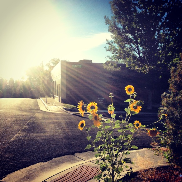Morning sunflowers.