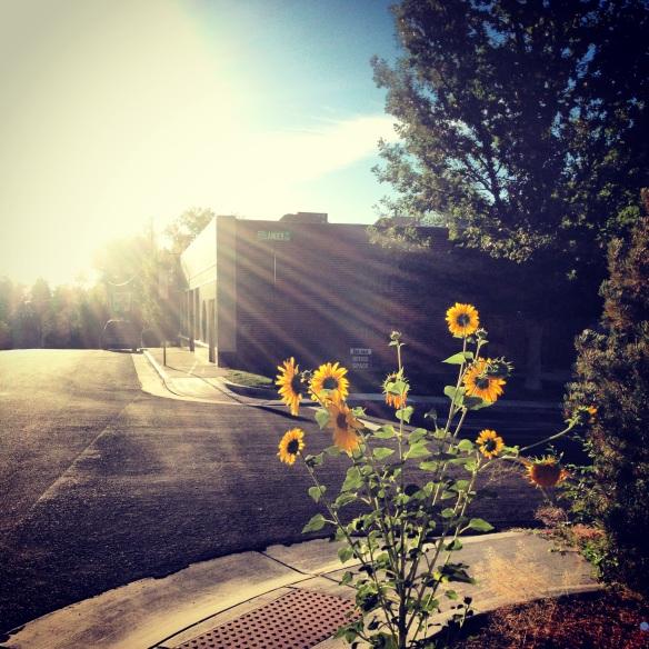 Morning sunflowers.