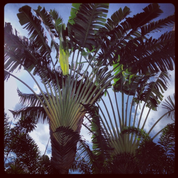 Traveller's Palm, which are not actually a palm tree, but a relative of the banana and bird of paradise.